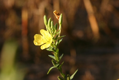 Blume Oenothera Feuer