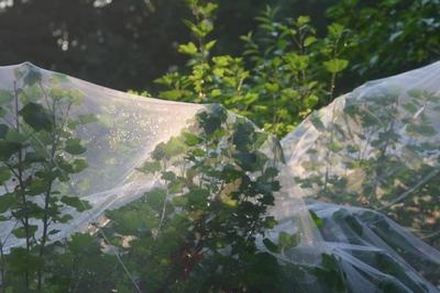 Netz über Johannisbeerenstraucher
